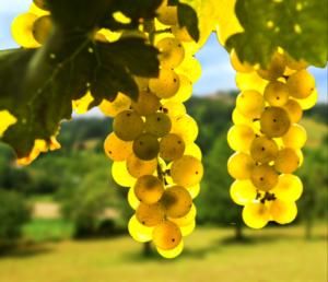 grape, vines, winery, vineyard, taste, tour