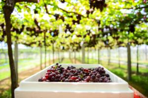 fresh grapes inside the vineyard